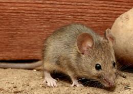 Mysz11 260x185 myszy
