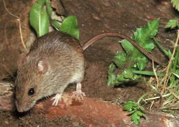 Mysz21 260x185 myszy