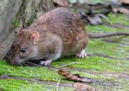 Szczur 260x185 Deratyzacja