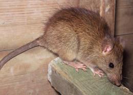 Szczur1 260x185 Deratyzacja
