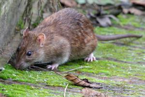 Szczur2 300x200 szczury