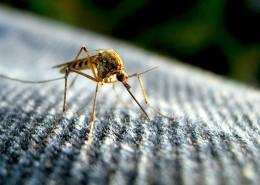 komar4 260x185 komary